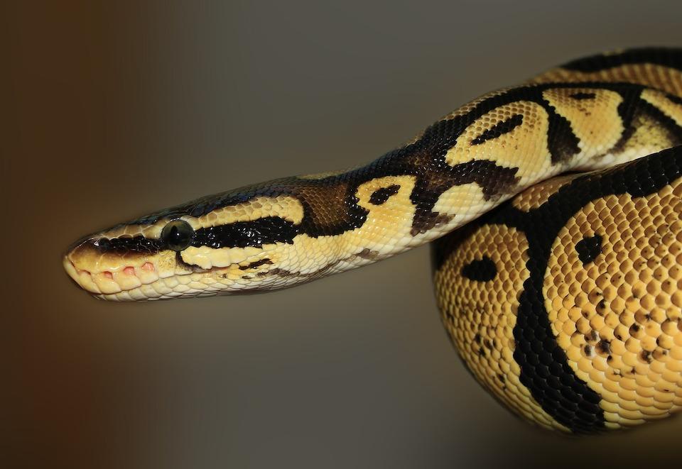 serpent présentant un danger